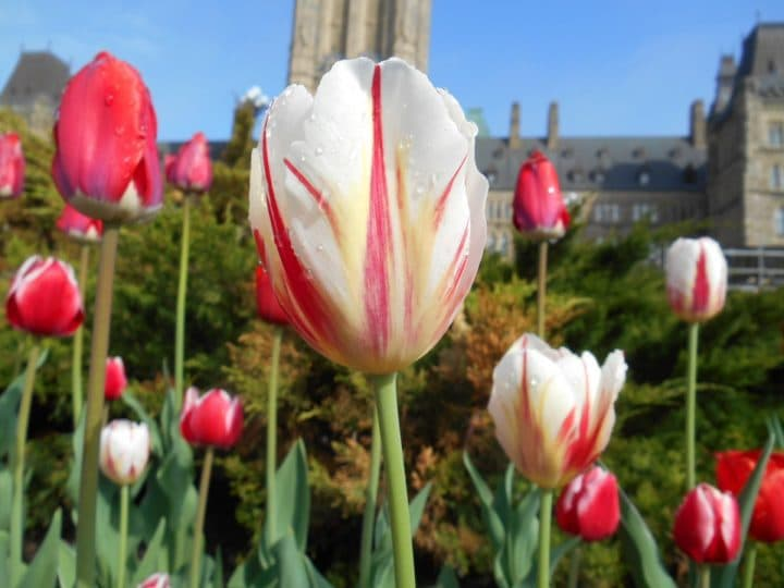 The Canada 150 tulip has a striking resemblance to the Canadian flag (NCC photo)